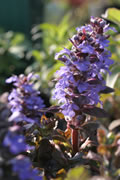 Großblättriger Günsel Ajuga reptans 'Jungle Beauty'   Lamiaceae