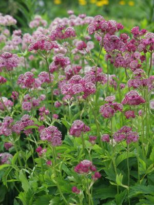 gro e sterndolde astrantia major 39 lars 39. Black Bedroom Furniture Sets. Home Design Ideas