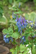 China-Lerchensporn Corydalis flexuosa 'Pere David'   Papaveraceae